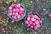 The harvest of apples. Two buckets of red apples, standing on the ground
