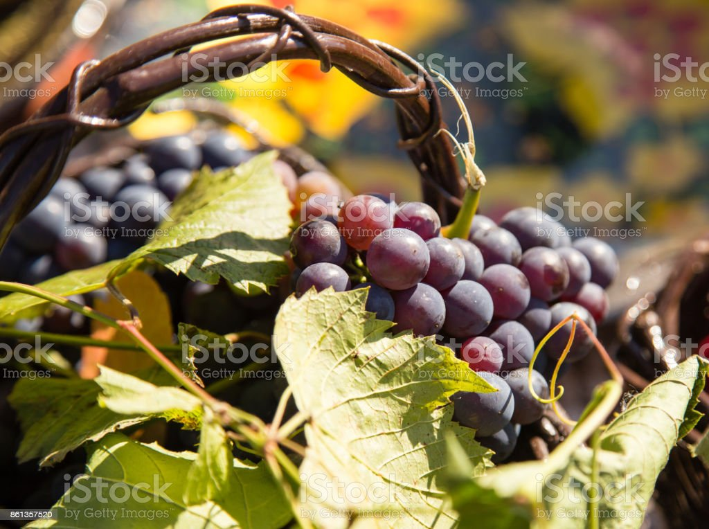 the harvest of grapes in a basket in nature stock photo