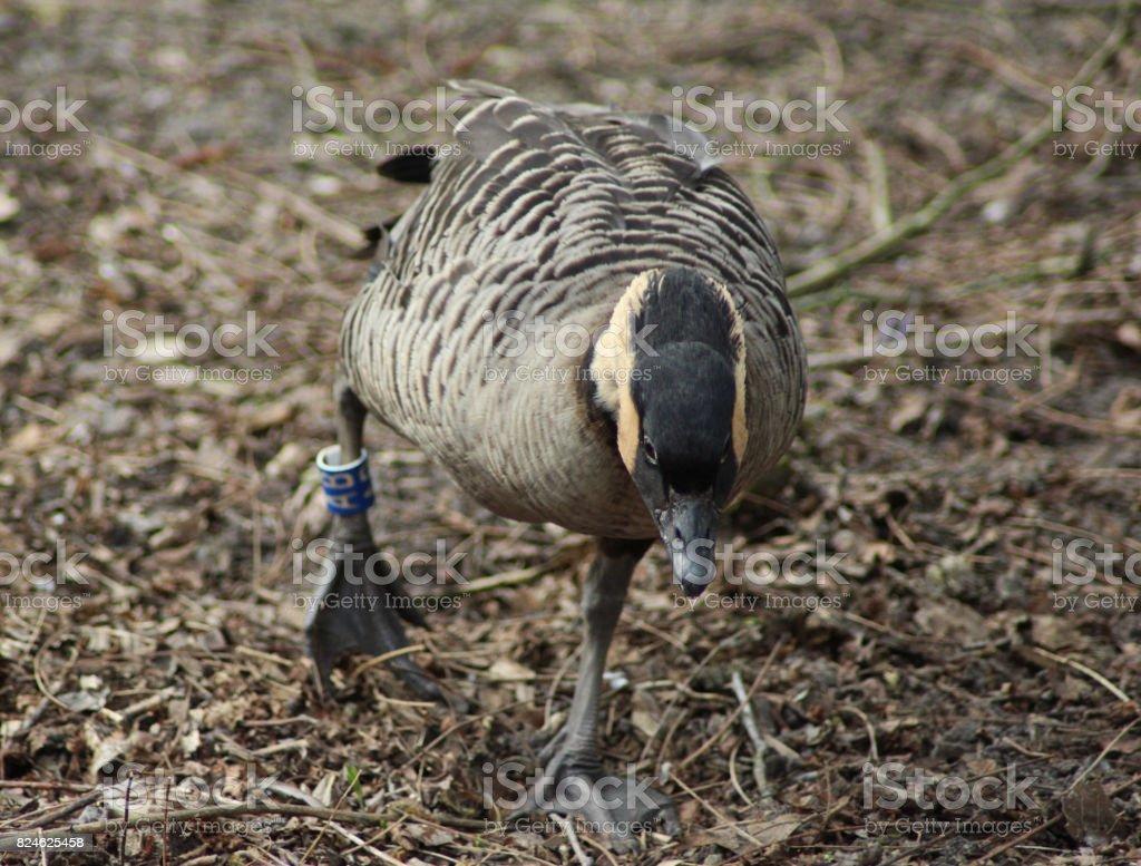 The Hawaiian duck (Anas wyvilliana) stock photo