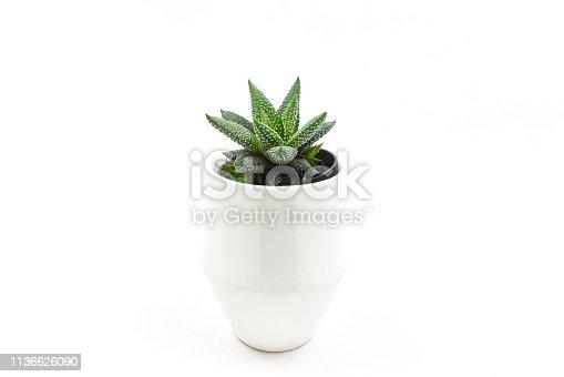 Studio shot of Haworthia attenuata succulent plant in a white pot on plain white background