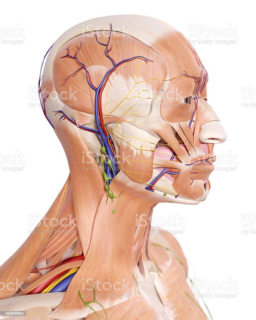 Der Kopf Anatomie Stock-Fotografie und mehr Bilder von 2015 | iStock