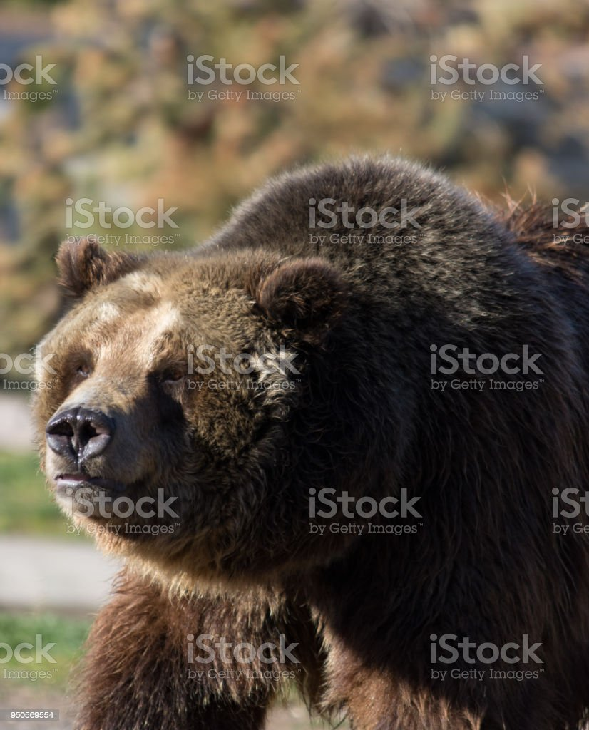 The Head and Shoulders of a Grizzly Bear stock photo