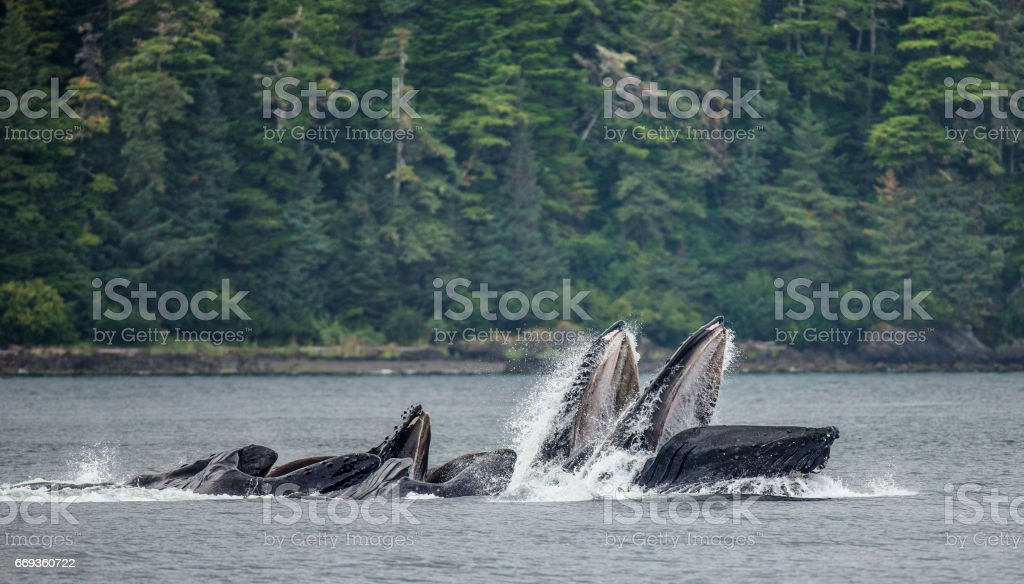The head and the humpback whale's mouth above the water surface close-up at the time of the hunt. - foto de stock