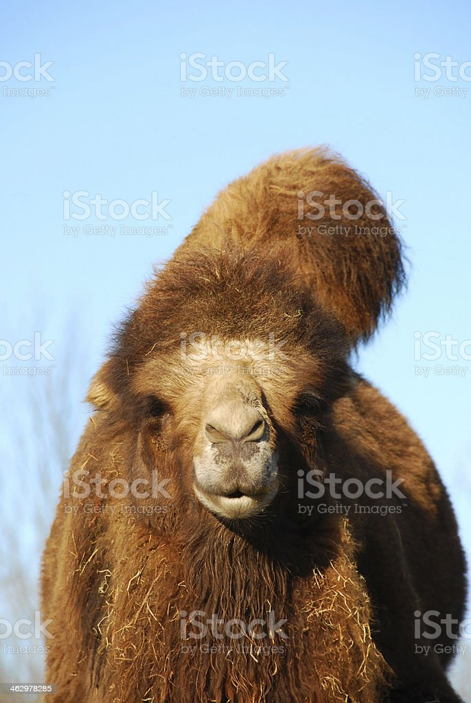The head of a Bactrian camel in a clear sky. royalty-free stock photo