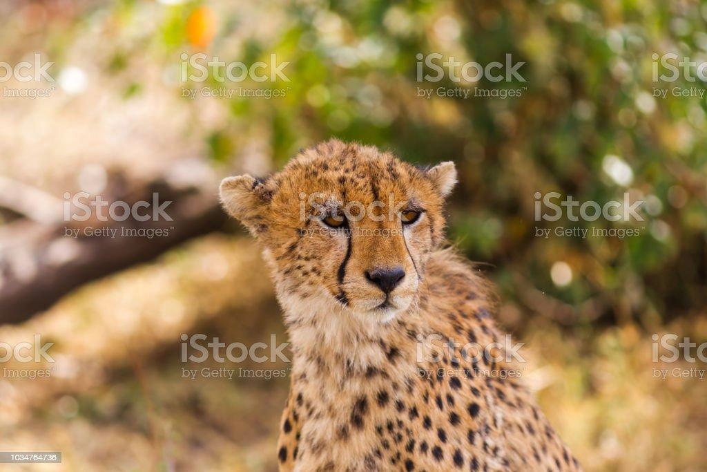 The head of a big cheetah. Masai Mara, Kenya stock photo