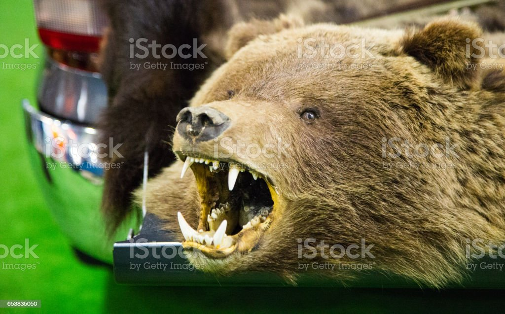 The head of a brown bear with bared teeth stock photo