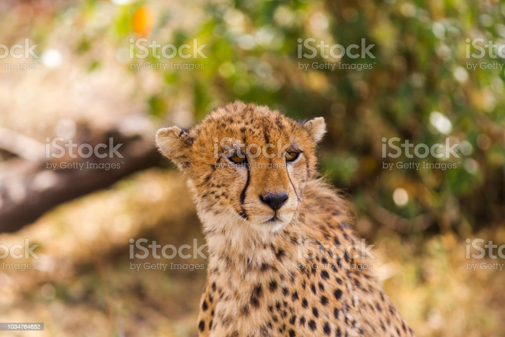 The head of a cheetah. Masai Mara, Kenya stock photo