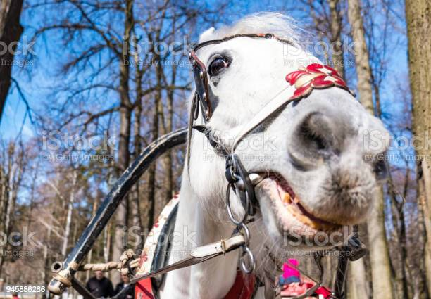 The head of a horse in a closeup harness picture id945886286?b=1&k=6&m=945886286&s=612x612&h=8gjf8kqk0st6omrcjh93itqjkqb00 t2j8z1sqfucto=