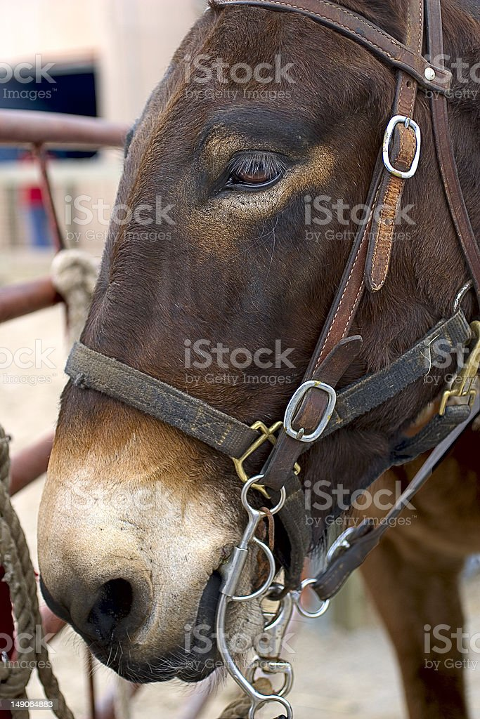 The Head of a Mule royalty-free stock photo