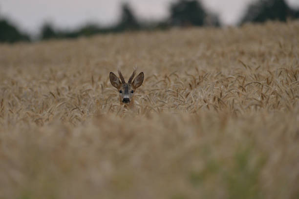 The head of a roe deer with antlers protrudes from the grain stock photo
