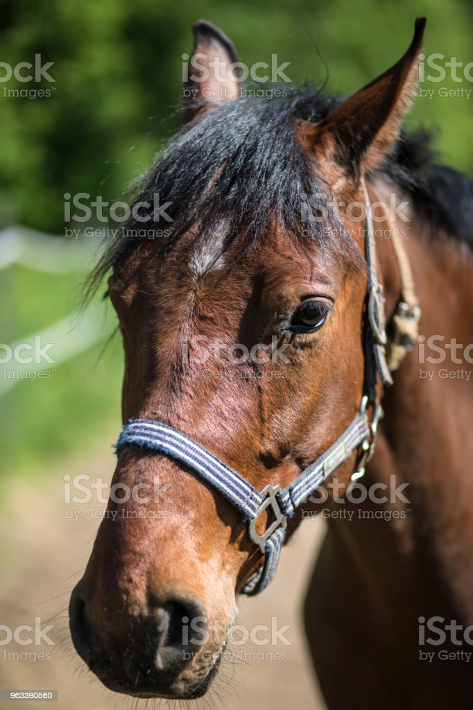 The head of brown Hanoverian horse in the bridle or snaffle a with the green background of trees an grass in the sunny summer day - Zbiór zdjęć royalty-free (Bez ludzi)