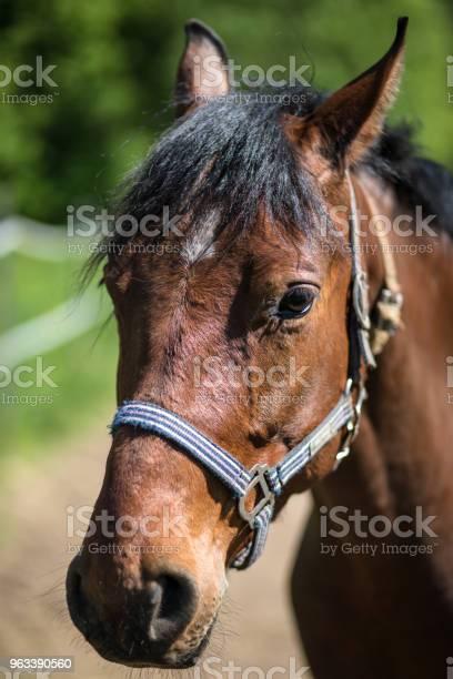 Głowa Brązowego Konia Hanowerskiego W Uzdę Lub Snaffle Z Zielonym Tle Drzew Trawa W Słoneczny Letni Dzień - zdjęcia stockowe i więcej obrazów Bez ludzi