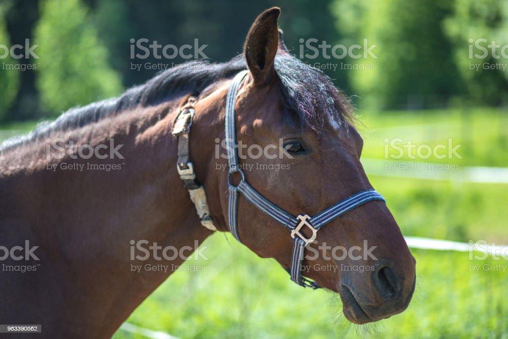 Głowa brązowego konia hanowerskiego w uzdę lub snaffle z zielonym tle drzew trawa w słoneczny letni dzień - Zbiór zdjęć royalty-free (Koń)