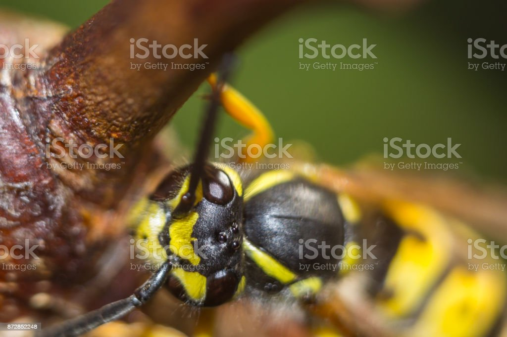 the head of the insect wasp stock photo