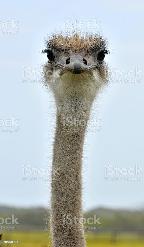The head of the ostrich stock photo
