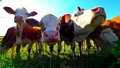 A close-up on the heads of a herd cows in a meadow