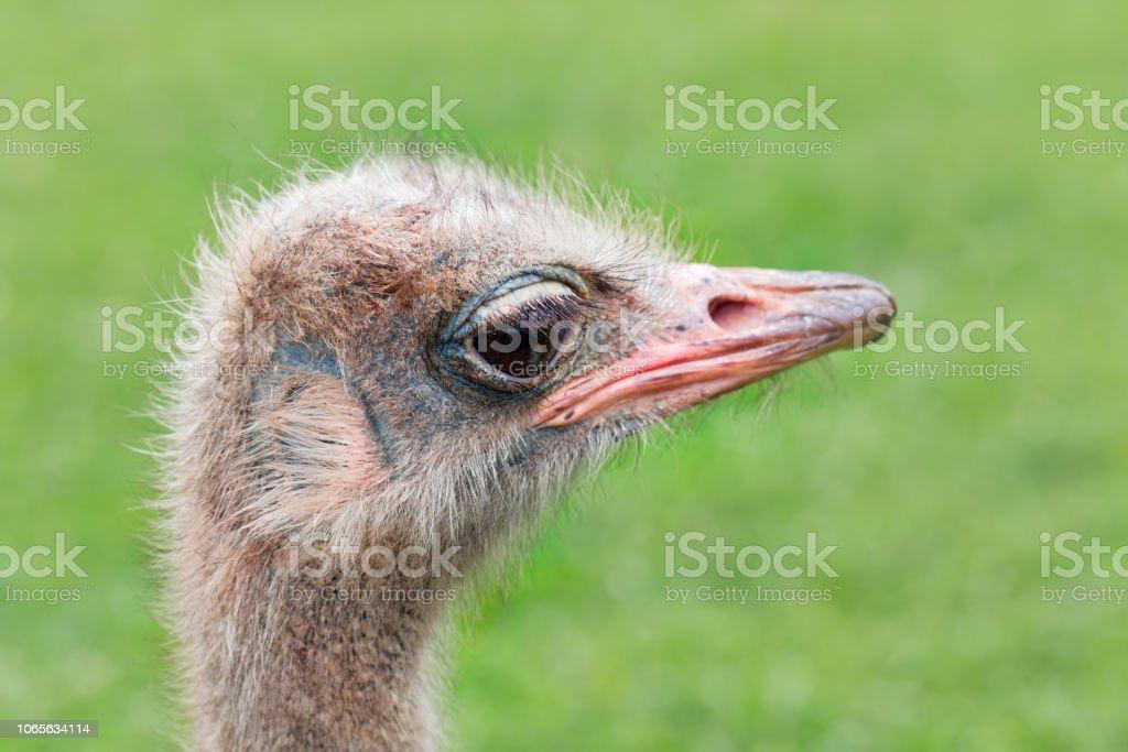 As cabeças de avestruz sobre um fundo verde. - foto de acervo