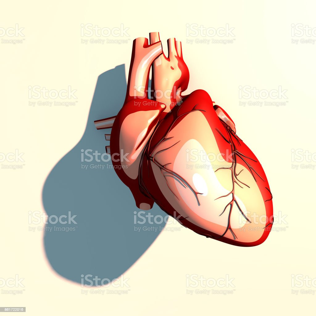 The heart is a muscular organ, which pumps blood through the blood vessels of the circulatory system, long shadow, 3d rendering stock photo