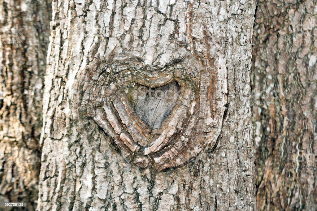 The heart shape bark of tree stock photo