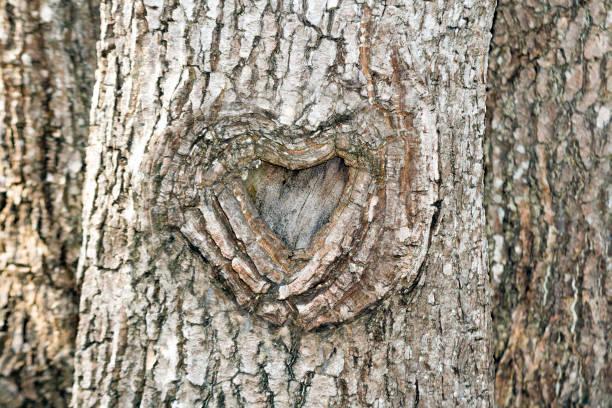 The heart shape bark of tree stock photo