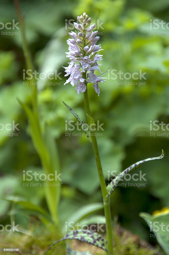 The heath spotted orchid  (Dactylorhiza maculata) stock photo