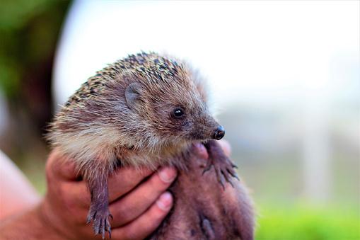 The Hedgehog Is In The Hands Of A Young Man Wild Mammal Animal - zdjęcia stockowe i więcej obrazów Bez ludzi