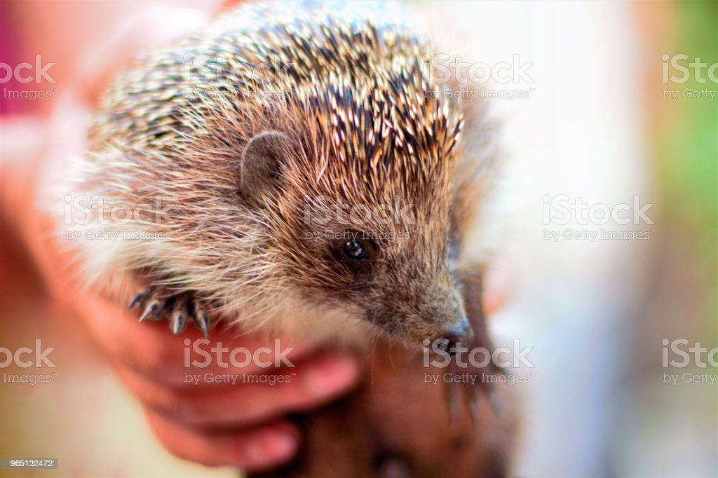 The hedgehog is in the hands of a young man. Wild, mammal animal. royalty-free stock photo