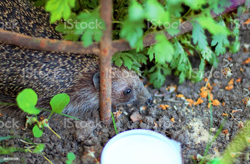 The hedgehog is in the hands of a young man. Wild, mammal animal. zbiór zdjęć royalty-free