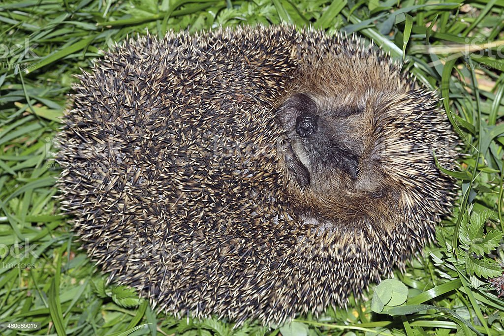 the hedgehog stock photo