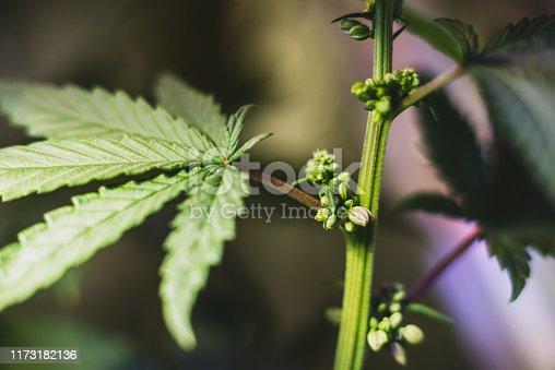 Growing Male Hemp, Identify Cannabis Male Plants, Hermies & Bananas