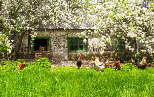 The hens in a beautiful place. stock photo