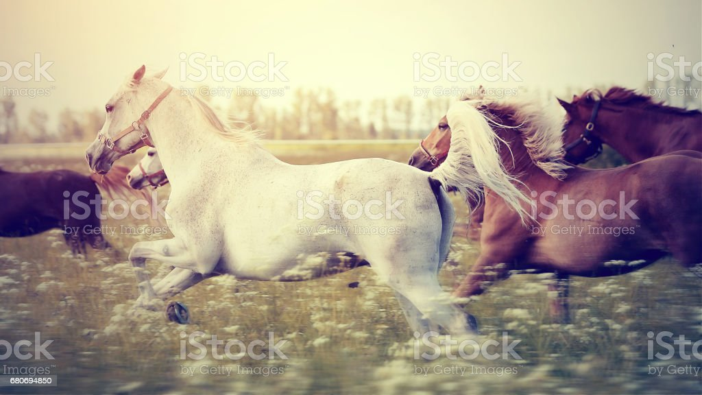 The herd of horses running gallop across the field. stock photo