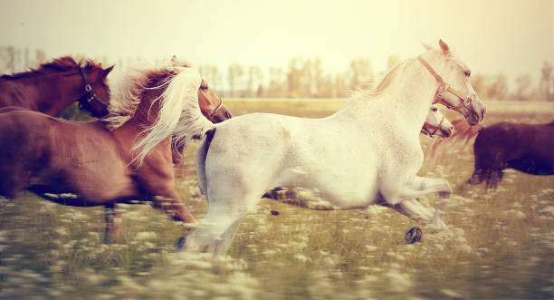 The herd of horses running gallop across the field. The herd of sports horses running gallop across the field. arabian horse stock pictures, royalty-free photos & images