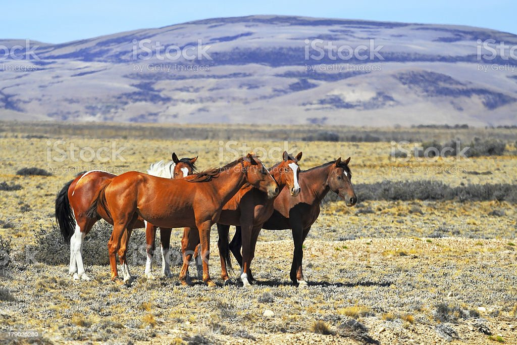 The herd of mustangs royalty-free stock photo