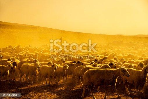 Koyun sürüsü, gün doğumunda otlakta otlatmak için çıkarıldı. sıcaklık yüksek ve ortam toz içinde. sarı renk ağırlıklı.