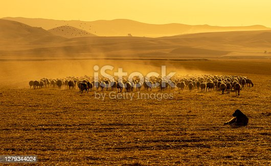 istock The herd of sheep was removed at birth to graze in the pasture. temperature is high and ambient in dust 1279344024