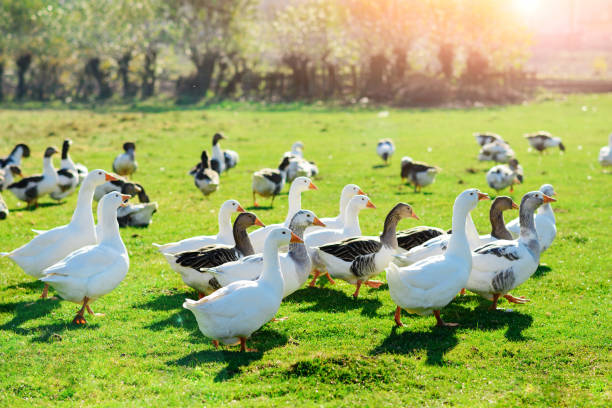 The herd of white adult geese grazing at the countryside on the stock photo
