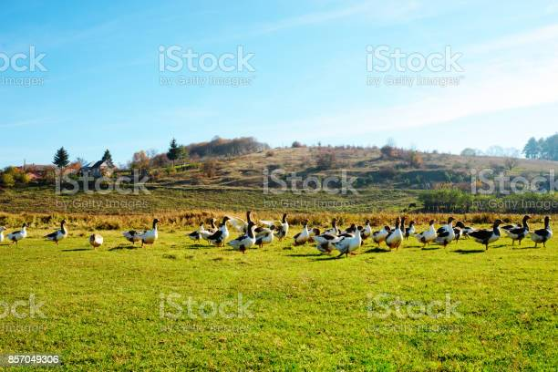 Photo of The herd of white adult geese grazing at the countryside on the