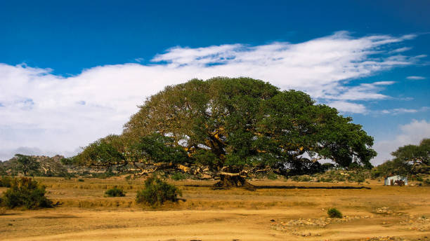 The Heroic Ficus Daaro Sycamore, Segheneyti, symbol of Eritrea The Heroic Ficus Daaro Sycamore at Segheneyti, symbol of Eritrea sycamore tree stock pictures, royalty-free photos & images