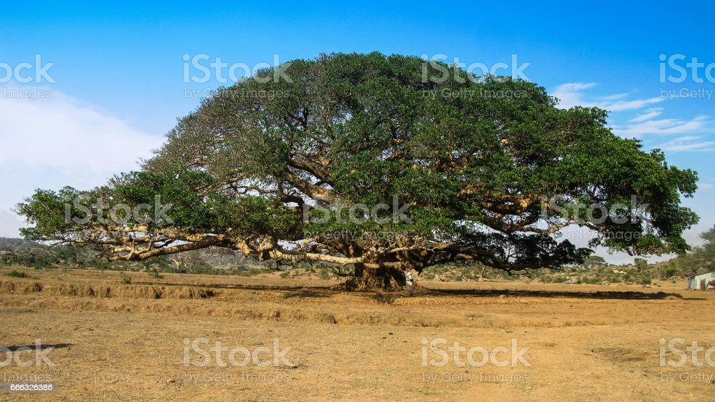 The Heroic Ficus Daaro Sycamore, Segheneyti, symbol of Eritrea stock photo