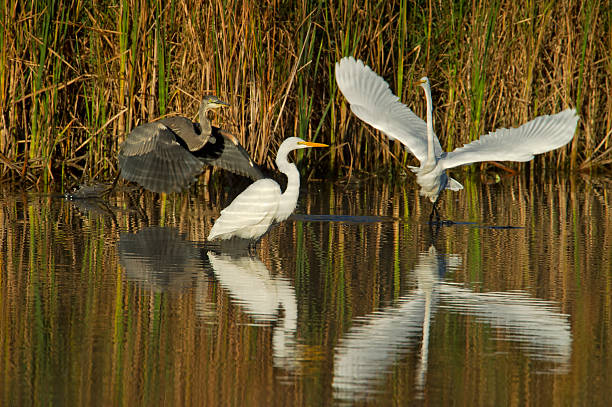 The Heron and Egrets stock photo