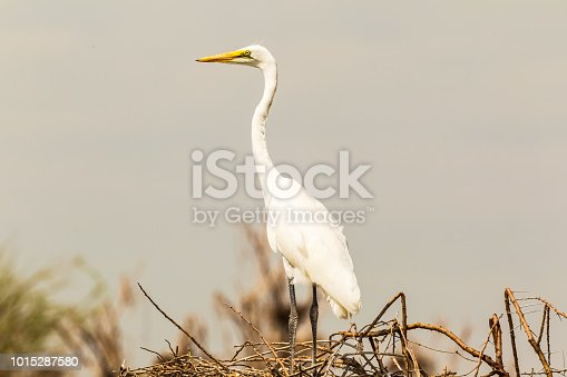 The heron near the nest. Lake Baringo, Kenya