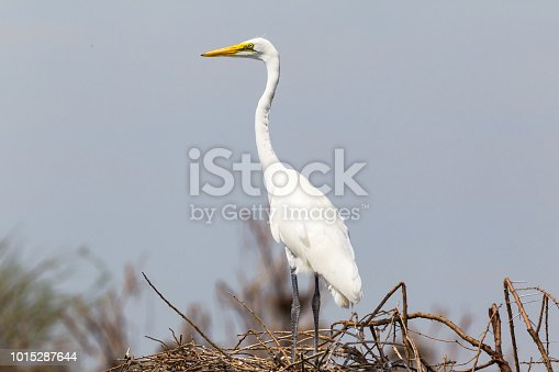 The heron on the nest. Lake Baringo, Kenya