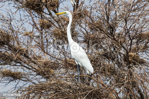 The heron sits among the trees. Lake Baringo, Kenya