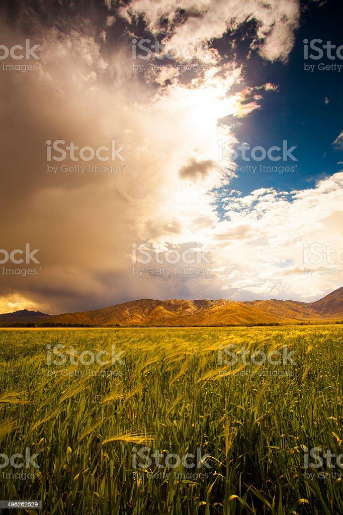 The highland barley belt in Tibet royalty-free stock photo