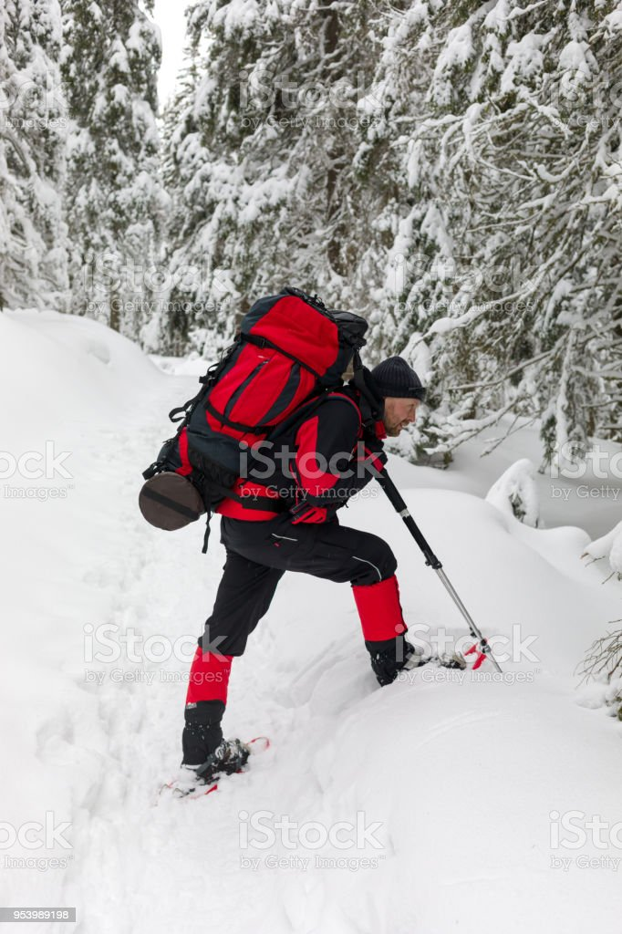The hiker saw something in the snow under the fir-tree stock photo