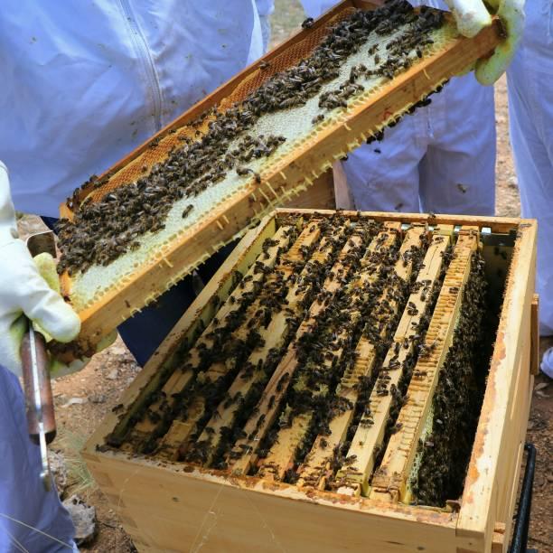 The Hive una colmena de abejas creando miel y jalea trabajo en equipo stock pictures, royalty-free photos & images