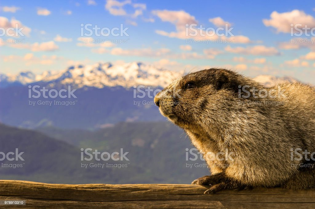 The hoary marmot of Whistler British columbia. this herbivore thrives on mountainous grasses and plants. Room for copy space living in mountains is difficult but the hoary marmot has developed and adapted to be able to thrive in the mountains. this breath taking view with the marmot in it provides a lot of value for illustrating mountain life Alertness Stock Photo