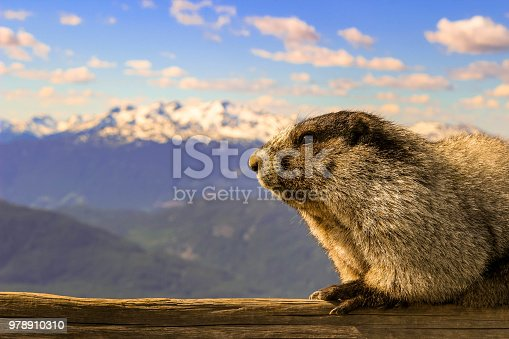 living in mountains is difficult but the hoary marmot has developed and adapted to be able to thrive in the mountains. this breath taking view with the marmot in it provides a lot of value for illustrating mountain life