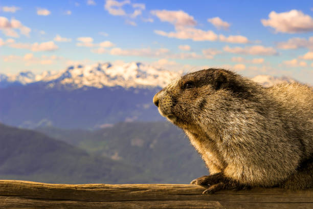 The hoary marmot of Whistler British columbia. this herbivore thrives on mountainous grasses and plants. Room for copy space stock photo